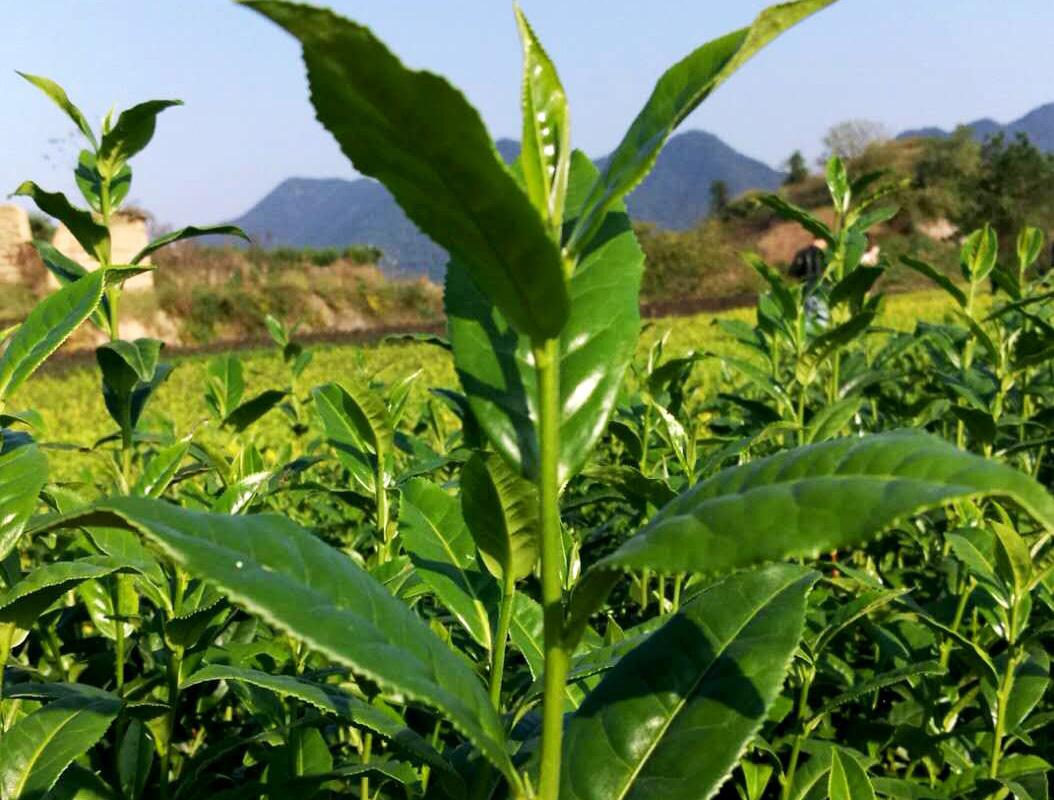 农业部关于抓住机遇做强茶产业的意见